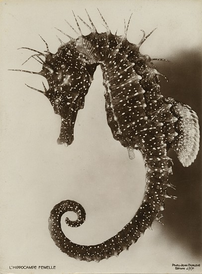 Jean Painlevé ,   L' Hippocampe Femelle  ,  1931     Vintage gelatin silver print ,  11 x 8 1/8 in. (27.9 x 20.6 cm)     [The Female Seahorse] see More Info for a link to an excerpt of the film L' Hippocampe      8058     $7,000