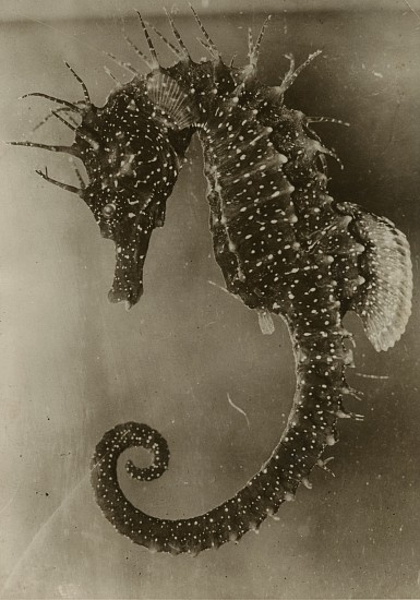 Jean Painlevé ,   L' Hippocampe Femelle  ,  1931     Vintage gelatin silver print ,  5 1/4 x 3 5/8 in. (13.3 x 9.2 cm)     [The Female Seahorse] see More Info for a link to an excerpt of the film L' Hippocampe      8059     $5,000